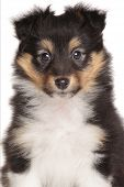 image of sheltie  - Shetland Sheepdog puppy - JPG
