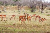 pic of antelope horn  - antelope on a background of green grass - JPG