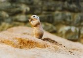 picture of gopher  - Standing and eating Gopher something - JPG