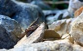 stock photo of cricket insect  - Cricket on stones  - JPG
