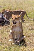 foto of female buffalo  - Lions Feeding  - JPG
