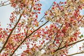 picture of cassia  - Wishing tree pink shower cassia bakeriana craib flower - JPG