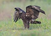 picture of greater  - wild bird Greater Spotted Eagle with front look - JPG