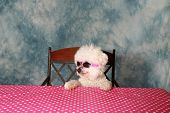 pic of bichon frise dog  - A pure breed Bichon Frise is One Cool Cat in her styling Sun Glasses  - JPG