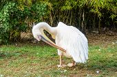 stock photo of pecker  - Pelican preening its feathers at Zoological Park - JPG