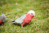 picture of cockatoos  - Galah cockatoo  - JPG