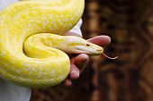 stock photo of burmese pythons  - Burmese Python curling up to his trainer during a show - JPG
