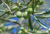 stock photo of olive trees  - Green olives on a tree branch in garden - JPG