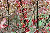 pic of barberry  - Red ripe berries of barberry on the branches in the autumn - JPG