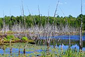 Swampy Land And Dead Trees