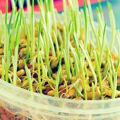 foto of genetic engineering  - sprout of genetically modified wheat - JPG
