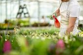 stock photo of greenhouse  - Worker watering flowers from the tables in greenhouse - JPG