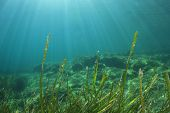 picture of plankton  - Underwater green sea grass and blue ocean water - JPG