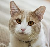 stock photo of tabby-cat  - A Close Up Portrait of a Tabby Cream House Cat
