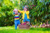 foto of cherries  - Kids picking cherry on a fruit farm - JPG