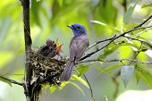 picture of monarch  - Black-naped Monarch Hypothymis azurea Nest Baby Birds of Thailand ** Note: Visible grain at 100%, best at smaller sizes - JPG