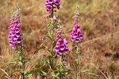 foto of rare flowers  - Common Foxclove flowers  - JPG