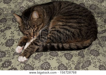 poster of Cat resting cat on a sofa in blur background cute funny cat close up domestic cat relaxing cat cat resting cat playing at home elegant cat