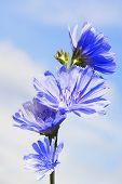 Cornflowers on blue sky background