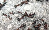 image of fire ant  - Ant fight in nature insect wood ant - JPG