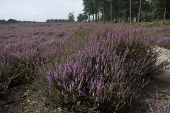 heathland with purple heather in the Netherlands