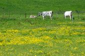 cows in the grass field with yellow flowers
