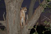 Animal Lynx In A Tree