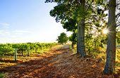 Sun rises over an Australian Vineyard