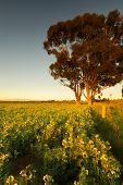 Tree in rural Australian field
