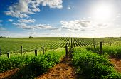 Barossa Valley vineyard in the spring