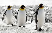 3 King Penguins in the Falkland Islands