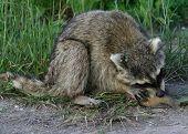 Raccoon Eating A Fish
