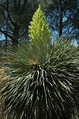 Giant Desert Bloom 132