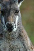 Retrato de canguro