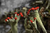 image of caribou  - Cladonia rangiferina also known as Reindeer lichen - JPG