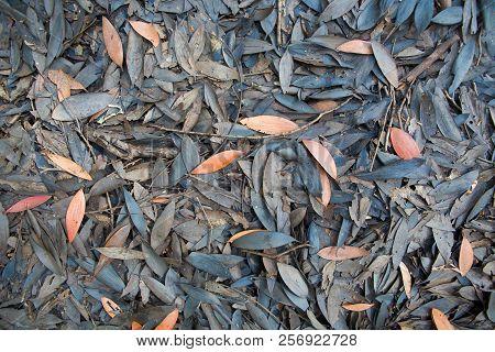 Dead Melaleuca Trees Leaves On