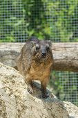 The Rock Hyrax Procavia Capensis, Also Called Rock Badger, Rock Rabbit, And Cape Hyrax Standing On A poster