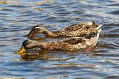 A Mallard Duck And Drake Swimming And Feeding Side By Side poster