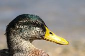 Side Profile Of A Mallard Drake Moulting His Head Feathers poster