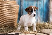 Puppy breed Jack Russell Terrier portrait dog poster