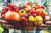 Colorful Organic Tomatoes In Farmers Hands. Fresh Organic Red Yellow Orange And Green Tomatoes In Ba poster