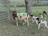 Ovelhas Jacob com cordeiros. Primavera.