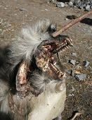 Dead baboon with spike through his eye along the Annapurna circuit trail, nepal