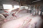stock photo of slaughter  - Transport of pigs for the slaughter house in Croatia - JPG