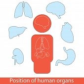 Position of human organs. Editable vector set