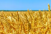 Wheat Field. Ears Of Golden Wheat Close Up. Beautiful Nature Sunset Landscape. Rural Scenery Under S poster