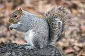 Sciurus Carolinensis, Common Name Eastern Gray Squirrel Or Grey Squirrel Depending On Region, Is A T poster