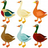 A colorful Theme of cute vector Icons : Ducks, Goose, Geese isolated on white