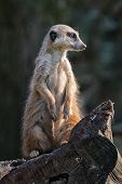 Suricata On Guard. Small African Mammal Meerkat Or Suricate Watching Out For Danger. poster