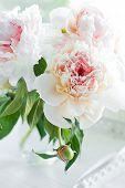 Beautiful white peony flowers